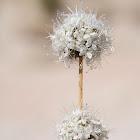 Acanthophyllum mucronatum