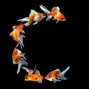 Goldfish C by Janna Morrison - Typography Single Letters ( goldfish c )