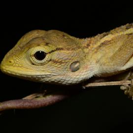 Little Dinosaur by Nishant Shah - Animals Reptiles ( macro, lizard, nature, wildlife, reptile, closeup )