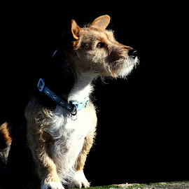 Evening light. by Mark Milham - Animals - Dogs Portraits ( pet, dog, posing, evening light, cody )