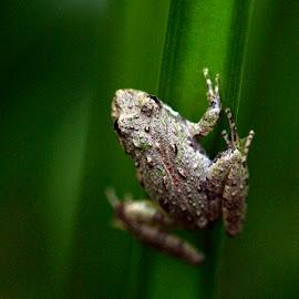 Northern Cricket Frog by J Callender - Animals Amphibians ( nature, frog, amphibian, wildlife, close up )