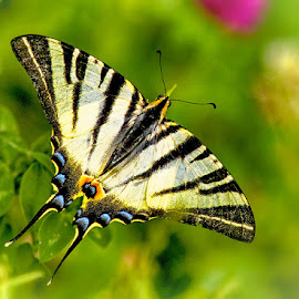 Swallowtail by Radu Eftimie - Animals Insects & Spiders ( butterfly, swallowtail )