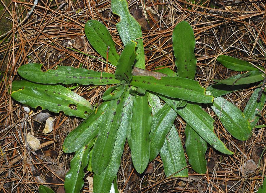 Roseta de Orchis italica