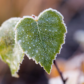 Frosty birch leaf by Teo Niklus - Nature Up Close Leaves & Grasses ( birch, frost, heart-shaped, leaf, hoarfrost )