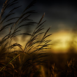 Grass by Agata Raszke - Nature Up Close Leaves & Grasses ( hdr, nature, grass, sunset, crop )