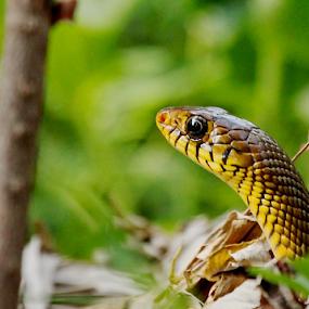 Anybody there???Peeping Rat Snake.. by Nithya Purushothaman - Animals Reptiles