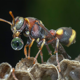 Injured Wasp Blowing Water Bubble by Carrot Lim - Animals Insects & Spiders