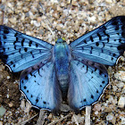 Glittering Sapphire  / Black-patched Metalmark
