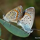 Plebeius blue