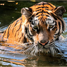 Swimming Tiger by Renos Hadjikyriacou - Animals Lions, Tigers & Big Cats ( animals, tiger,  )
