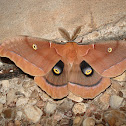 Giant Silkworm Moth