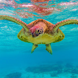 Green Turtle: I Can Fly by Colin Davis - Animals Reptiles ( green, reptile, turtle )