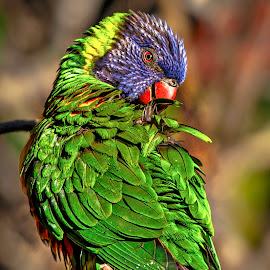 Grooming by Carol Plummer - Animals Birds ( lorakeet )
