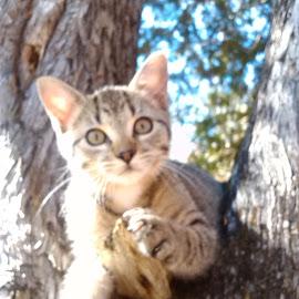 Petit Pickerel by Pamela Godsoe - Animals - Cats Kittens ( breed, new, kitten, tiger, maine, extra, cedar, petite, small,  )