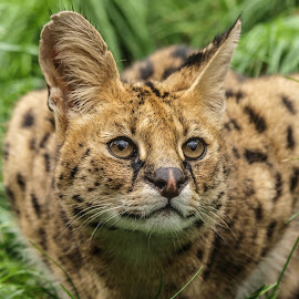 Serval by Garry Chisholm - Animals Lions, Tigers & Big Cats ( garry chisholm, predator, carnivore, serval, nature, wildlife )