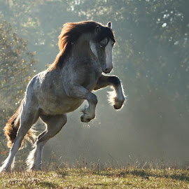 Mystic Dusk by Katarzyna Okrzesik - Animals Horses ( stallion, horse, cob, gypsy )