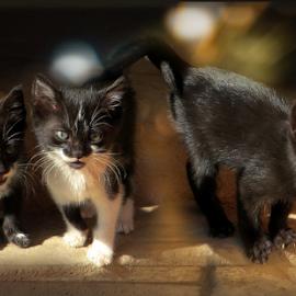 by Svetla Stoimenova - Animals - Cats Kittens
