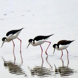 by Hema Shah - Digital Art Animals ( synchronized, black and white, stilts, marina, pink legs )