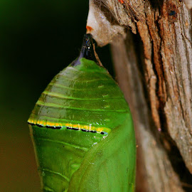 Monarch Cocoon by Tim Bennett - Nature Up Close Other Natural Objects