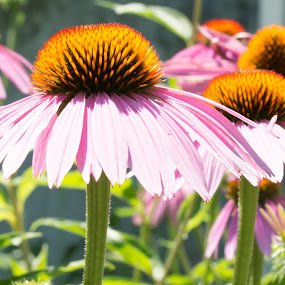 Summer Garden by John Ogden - Flowers Flower Gardens ( pink flower, echinacea, flowers, garden, close up )