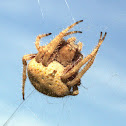 Hairy Field Spider