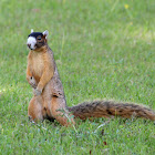 Bachman's Fox Squirrel