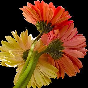 three gerbers by LADOCKi Elvira - Flowers Flower Arangements ( nature, color, 2014, plants, flowers, garden )