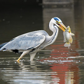 Grey Heron (Ardea cinerea) by BoonHong Chan - Animals Birds ( bird, bird with prey, park, grey heron, lake, heron )