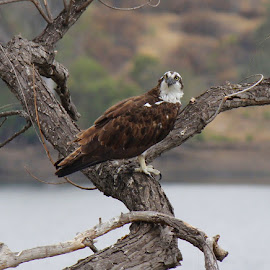 The Mighty Osprey by Mary O'Brien - Animals Birds ( camping, majestic, beautiful, lake, osprey )