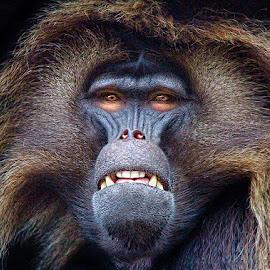 Gelada Baboon by John Larson - Animals Other Mammals