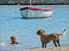 Şehrin başıboş köpekleri bile denizin tadını çıkartıyorlar.