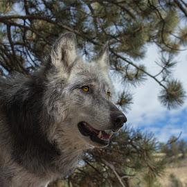 Dapperwolf by Kyle Gorman - Animals Other Mammals ( dapper, animals, canon t5i, wolf, colorado )