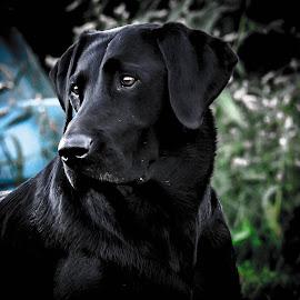 Gracie Girl by Rob Ebersole - Animals - Dogs Portraits ( labrador retriever, lab )