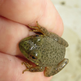 Frog by Blythe Watt - Animals Amphibians ( spots, bullfrog, frog, outside, closeup )