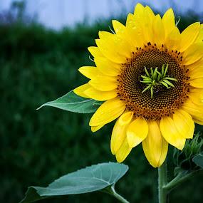 Sun Flower  by Sabrina Causey - Flowers Single Flower ( green, summer, sunflower, yellow, flower,  )