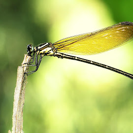 <> by Tamrin Khocet - Animals Insects & Spiders ( macro, macro photography, nature up close )