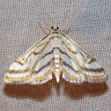 Chestnut-marked Pondweed Moth