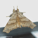 Angel moth