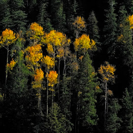 Stretching Up by Michael Otter - Nature Up Close Trees & Bushes ( mt. graham, sky island, fall colors, aspen )