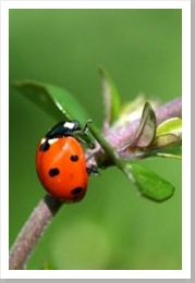 ladybug_insect_beetle_251167_l