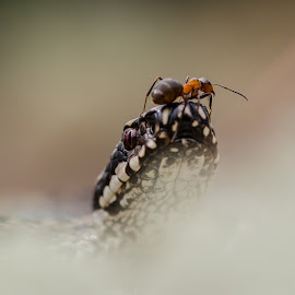Brave ant by Jo Stenersen - Animals Reptiles ( snake, nature, moment, adder, ant, viper, animal )