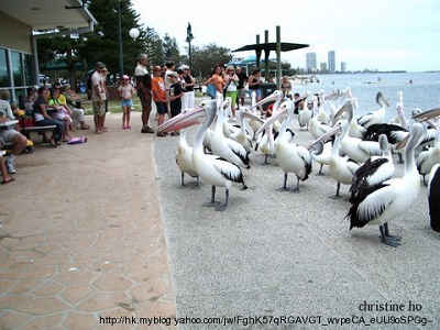 Pelicans03