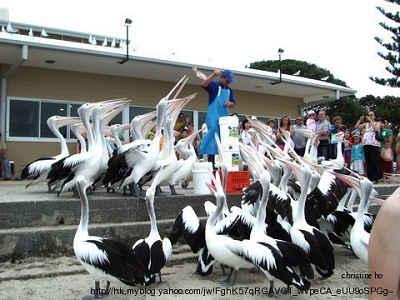 Pelicans04