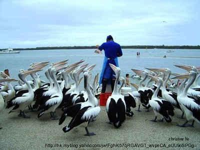 Pelicans06