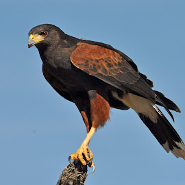 Harris Hawk by Dawn Hoehn Hagler - Animals Birds ( bird, desert museum, tucson, raptor, harris hawk )