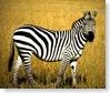 grants-zebra