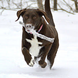 Dashing Through the Snow by Lisa Morejon - Animals - Dogs Running ( playing, animals, dogs, snow, nh, labradors, running )