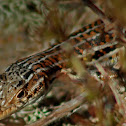 Red-tailed Spiny-footed Lizard