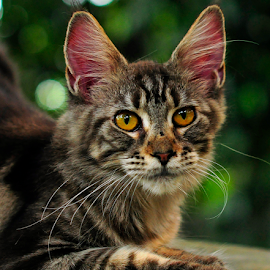 by Cacang Effendi - Animals - Cats Portraits ( cats, cattery, kitten, aniimal, chandra )