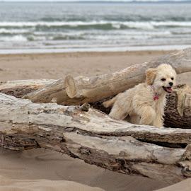 Millie by Bob Dick - Animals - Dogs Playing ( tree, sea, sandy, beach, dog,  )